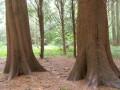 Lebensbaum, Staatl. Versuchsgarten Grafrath