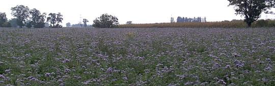Blumenfeld bei Rehling